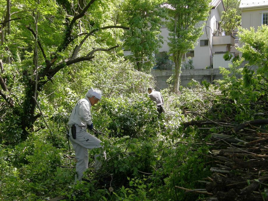 伐採した梅の枝を切り詰めて整理しています