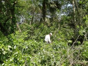 クズやお茶の木を伐採中
