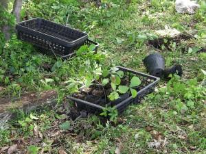 苗圃からポットへ移植された実生のコナラ