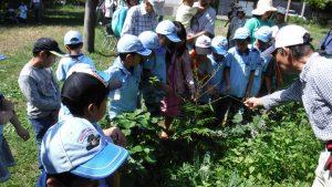 アゲハの幼虫が葉を食べる山椒。