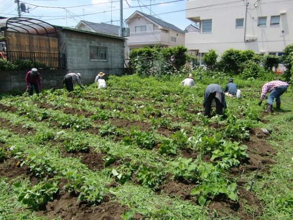 H25.6_サツマイモ畑の草取り  (1)