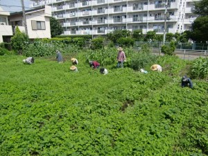 H25.6_サツマイモ畑の草取り  (2)