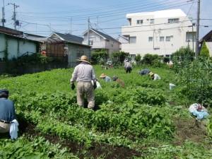 H25.6_サツマイモ畑の草取り  (3)