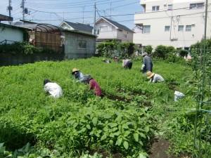 H25.6_サツマイモ畑の草取り  (4)