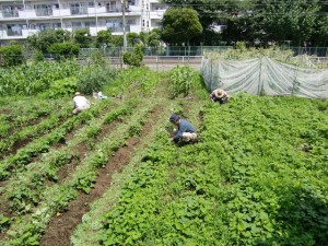 H25.6_サツマイモ畑の草取り  (6)