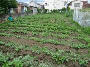 H25.6_サツマイモ畑の草取り  (9)