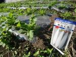 H25秋野菜報告 (25)