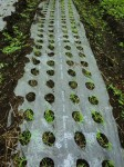 H25秋野菜報告 (32)