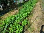 251100野島農園11月様子 (19)
