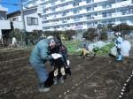 H250315親子農業体験ジャガイモ掘り用種植 (37)
