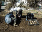 H250315親子農業体験ジャガイモ掘り用種植 (52)