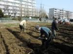H250315親子農業体験ジャガイモ掘り用種植 (11)
