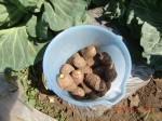 260412_サトイモの種植え付け (20)