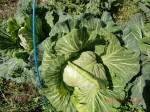 260412_サトイモの種植え付け (24)
