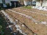 260412_サトイモの種植え付け (33)