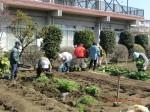 260412_サトイモの種植え付け (5)