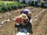 260412_サトイモの種植え付け (15)