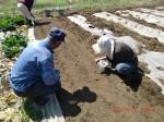 260412_サトイモの種植え付け (25)