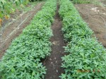 H260810野島農園収穫日 (18)