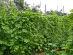 H260810野島農園収穫日 (19)