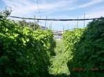 H260810野島農園収穫日 (24)