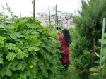 H260810野島農園収穫日 (7)