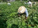 H260824野島農園共同作業日 (9)