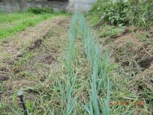 H260830秋野菜準備 (17)