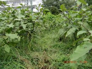 H260830秋野菜準備 (20)