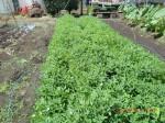 H260831秋野菜準備 (4)