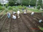 H260910ジャガイモの種植え付け (13)