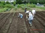 H260910ジャガイモの種植え付け (14)