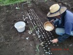 H260910ジャガイモの種植え付け (17)