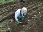 H260910ジャガイモの種植え付け (7)
