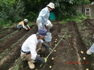 H260910ジャガイモの種植え付け (9)