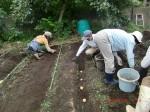 H260910ジャガイモの種植え付け (10)