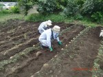 H260910ジャガイモの種植え付け (11)