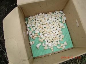 H260910ジャガイモの種植え付け (15)