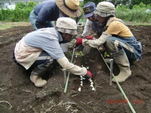 H260910ジャガイモの種植え付け (16)