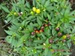 H260910ジャガイモの種植え付け (20)