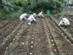 H260910ジャガイモの種植え付け (4)