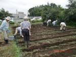 H260910ジャガイモの種植え付け (5)