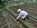 H260910ジャガイモの種植え付け (8)