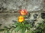 H261011花 (11)