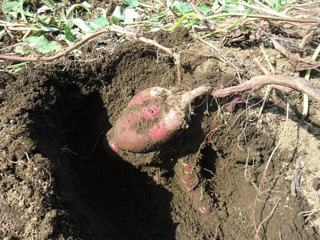H261020サツマイモのツルカリ (10)