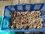 H261020サツマイモのツルカリ (24)