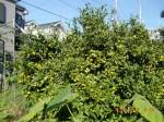 H261020サツマイモのツルカリ (48)