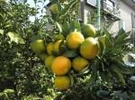 H261020サツマイモのツルカリ (42)