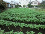 H261021サツマイモ掘りの段取り (15)