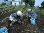 H261021サツマイモ掘りの段取り (2)
